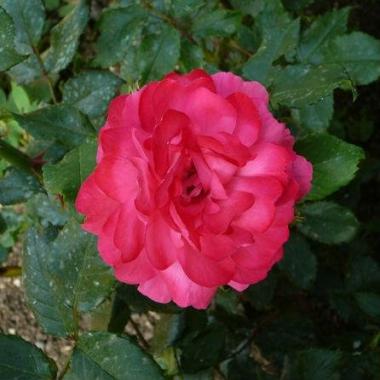 Роза плетистая Ореанда