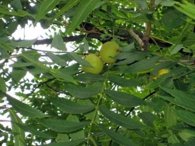 Черный орех Вандерслута