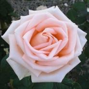Роза чайно-гибридная Осиана