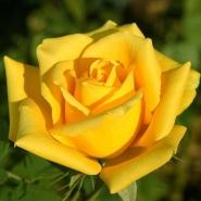Роза ч/г Желтый остров