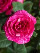 Роза чайно-гибридная Пандора