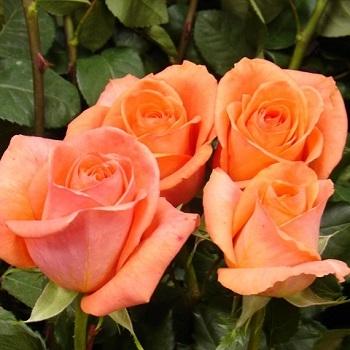 Роза чайно-гибридная Papaya (Папайя)