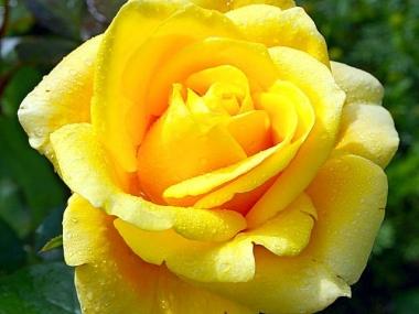 Роз ачайно-гибридная Папиллон