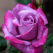 Роза чайно-гибридная Парадиз/Paradise (контейнер 2л)