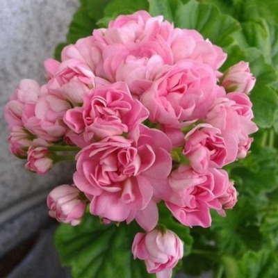 Пеларгония розебудная  Anita 16