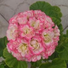 Пеларгония розебудная Sutarves Klara San