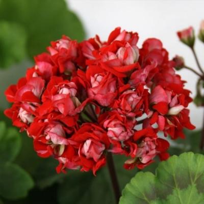 Пеларгония розебудная Vectic Rosebud