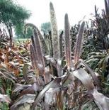 Пеннисетум сизый / Pennisetum glaucum (контейнер)