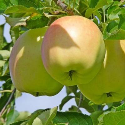 Яблоня Пепинка золотистая (осеннее)