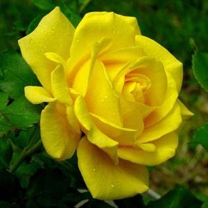 Роза миниатюрная Перестройка\Perestroika