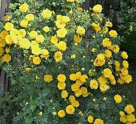 Роза плетистая Персиан Елоу