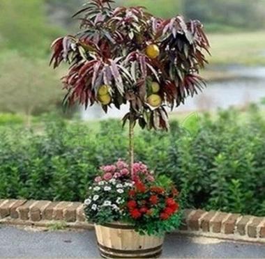 Персик колоновидный краснолистный Хоней Ред