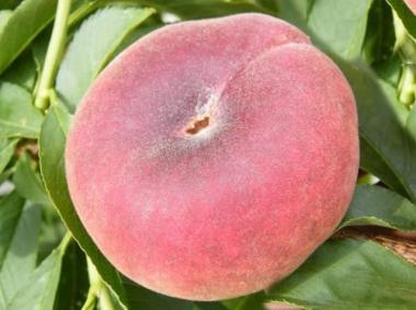 Персик инжирный Свит Ринг