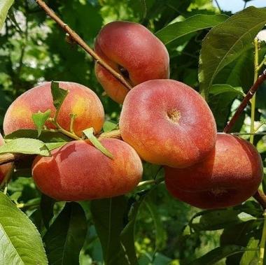 Персик инжирный Пинк Ринг