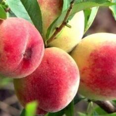 Персик Вымпел