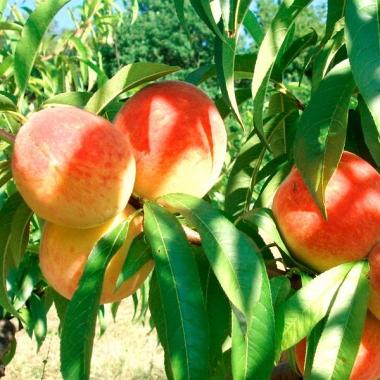 Персик Крымский фейерверк