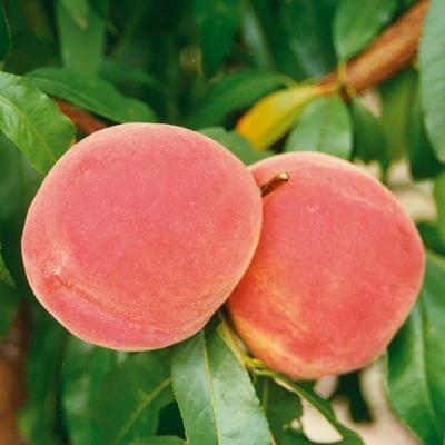 Гибрид персик-слива Инка