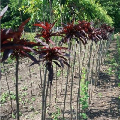 Персик краснолистный колоновидный на штамбе