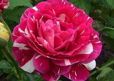 Роза чайно-гибридная Пёстрая Фантазия