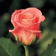 Роза ч/г Мисс Пигги
