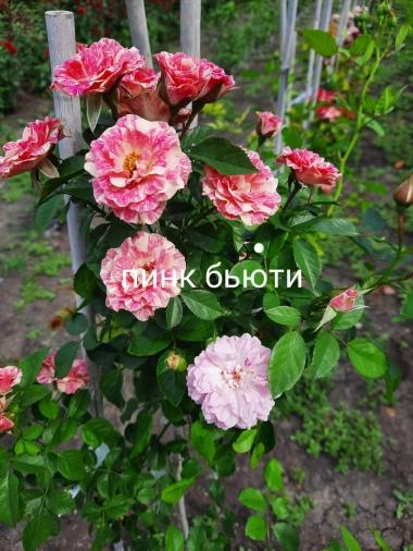 Роза штамбовая Пинк Бьюти