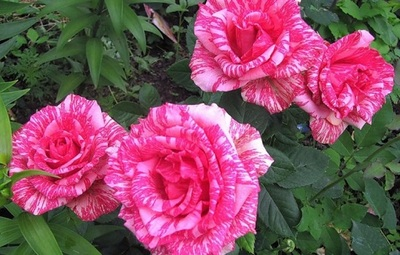 "Роза чайно-гибридная ""Пинк Интуишн""\""Pink Intuition"""