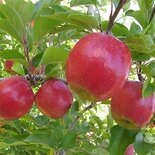 Яблоня Пинк Леди (поздне зимнее)