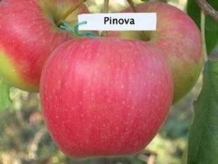 Яблоня Пинова (Германия)