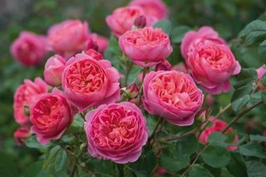 Роза плетистая пионовидная Отело