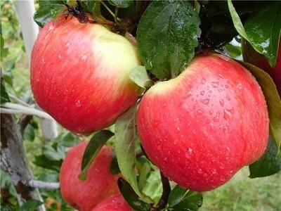 Яблоня Пирос (Германия) (летнее)