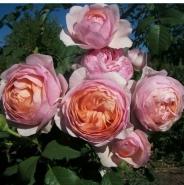Роза Питер Пауль Рубенс