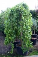 Шелковица плакучая  1,5-1,7м