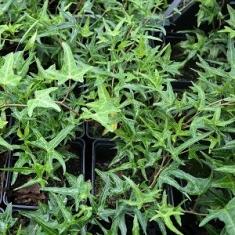 Плющ узколистный Sagittaefolia