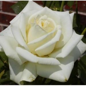 Роза чайно-гибридная Полар Стар\Polar Star