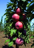 Яблоня колоновидная Кармелита