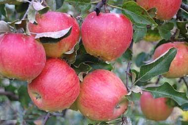 Яблоня Прима (осеннее)