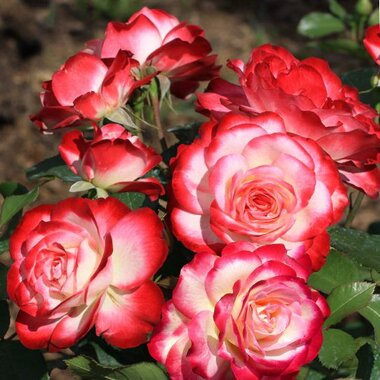 Роза флорибунда Принц де Монако(Жюбиле дю Прэнс де Монако)