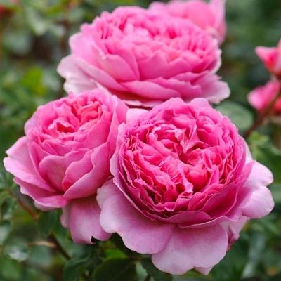 Роза английская Принцесса Александра/Princess Alexandra