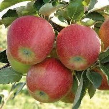 Яблоня Ренора