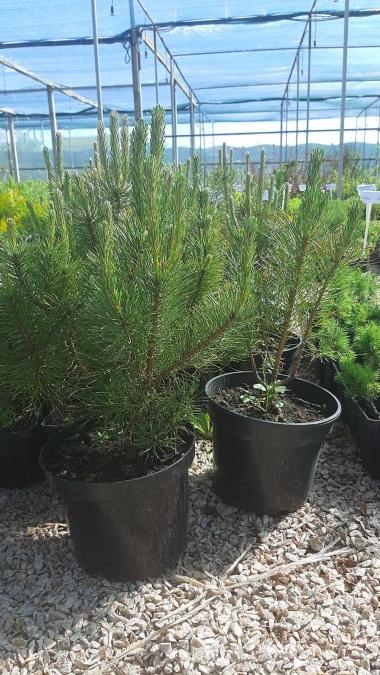 Сосна горная пумилио (контейнер)\Pinus  mugo pumilio