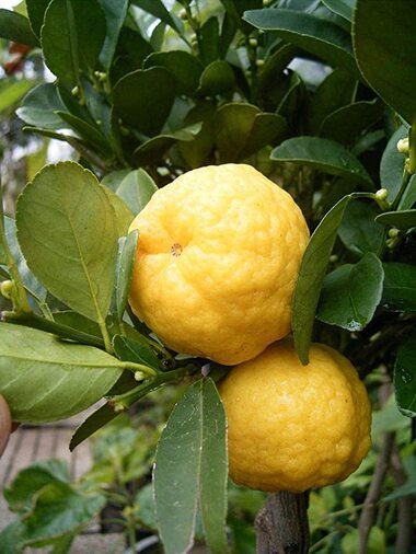 Дерево-сад лайм Леметта Пурша + лимон Киевский крупноплодный