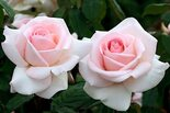 Роза чайно-гибридная Пушкин