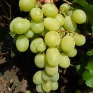 Виноград Рафинад