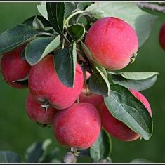 Райская яблоня