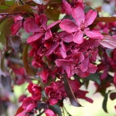 Райская яблоня краснолистная Маковецки