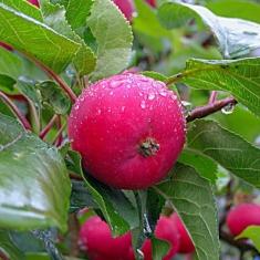 Райская яблоня Ранетка Дук Пинсу