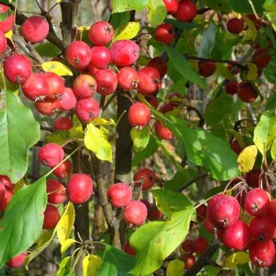 Яблоня сливолистная/райская Долго