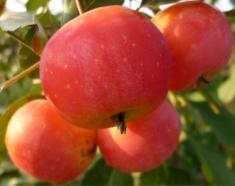 Яблоня райская Вирджиния Креп