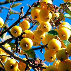 Райская яблоня желтая