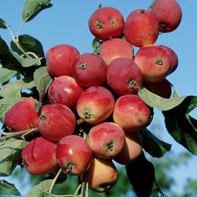 Яблоня райская колоновидная Эселтине